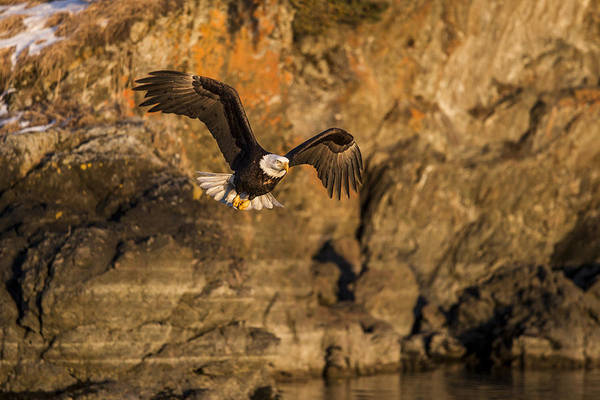 Photograph - Flying Eagle by D Robert Franz
