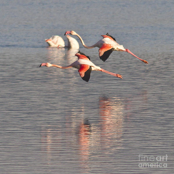 Photograph - Flying Flamingos by Heiko Koehrer-Wagner