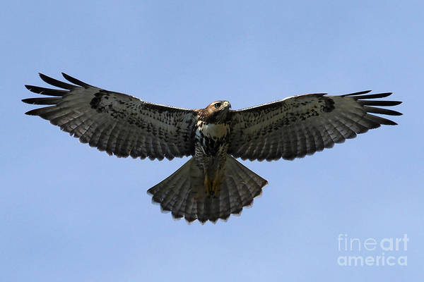 Flying Free - Red-tailed Hawk Art Print