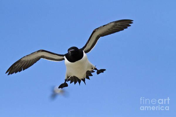 Photograph - Flying Guillemot Or Murre by Heiko Koehrer-Wagner