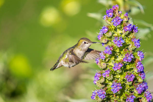 Photograph - Flying Hummingbird  by Pierre Leclerc Photography