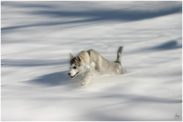 Photograph - Flying In A Husky Dream by Wayne King