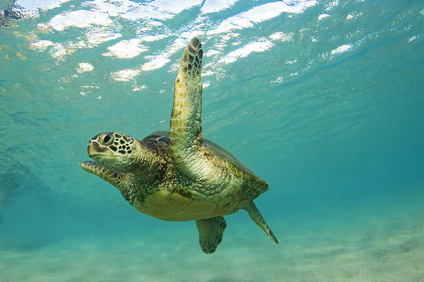 Turtle Photograph - Flying by James Roemmling