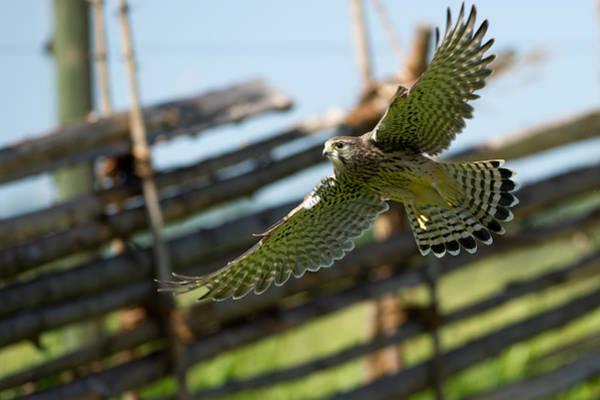 Photograph - Flying Kestrel by Torbjorn Swenelius