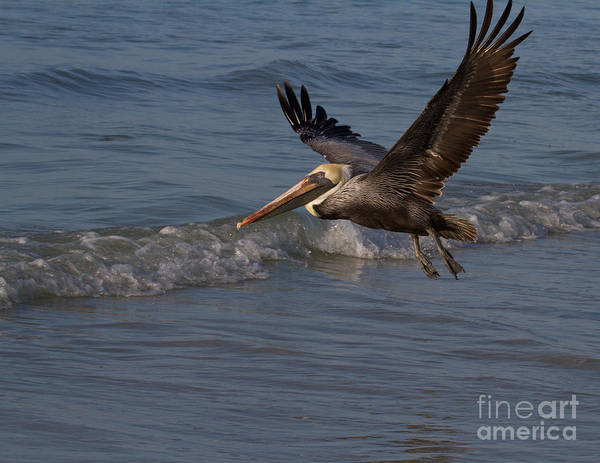 Photograph - Flying Pelican by Chris Scroggins