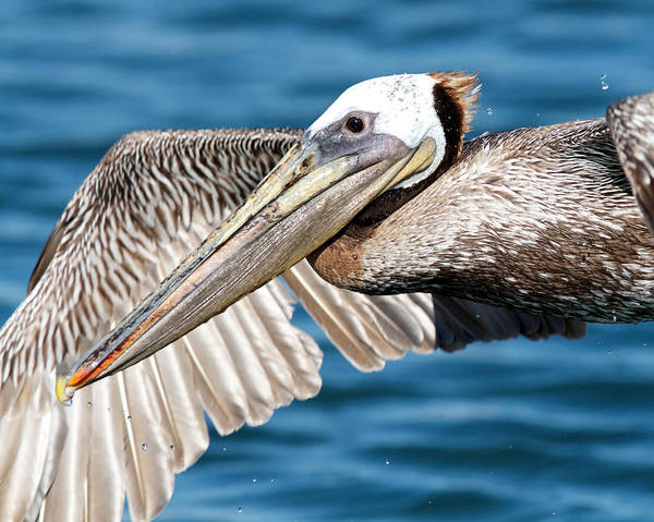 Photograph - Flying Pelican by Steve Kaye