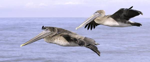 Photograph - Flying Pelicans by Bradford Martin