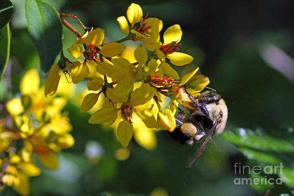 Photograph - Flying Pollen - American Bumble Bee by Meg Rousher