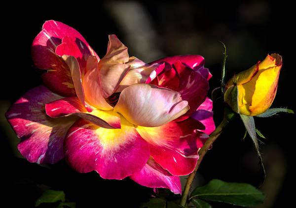 Photograph - Flying Rose by Tomasz Dziubinski