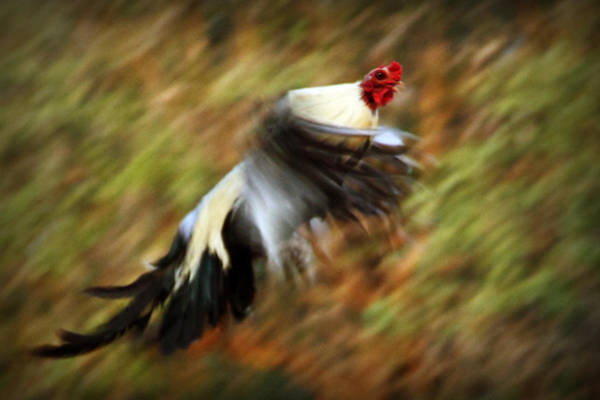 Bird In Flight Digital Art - Flying Rooster by Linda Unger