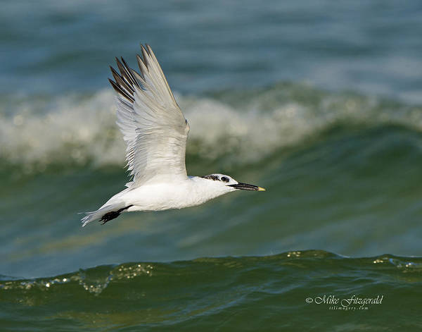 Photograph - Flying Sandwich by Mike Fitzgerald