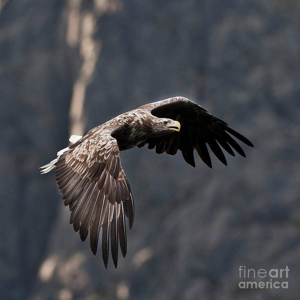 Faunal Photograph - Flying Sea Eagle  by Heiko Koehrer-Wagner