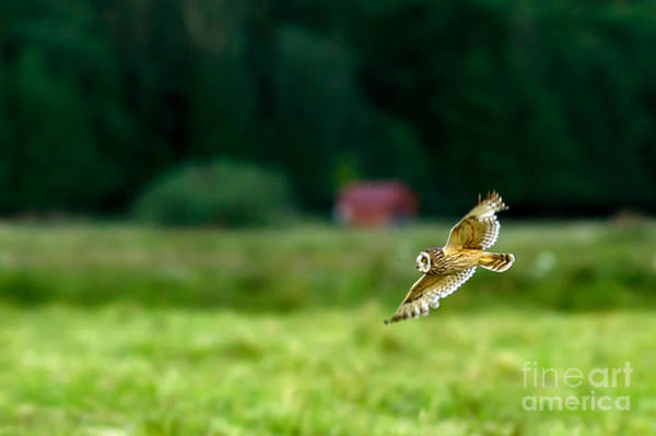Photograph - Flying Short Eared Owl by Torbjorn Swenelius