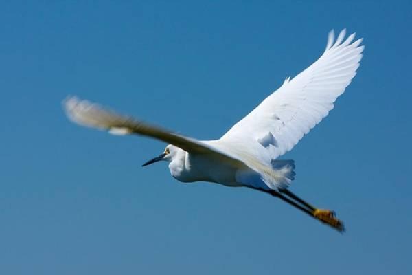 Photograph - Flying Snowy Egret by Stuart Litoff