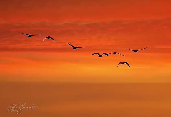 Photograph - Flying South  by Cindy Greenstein