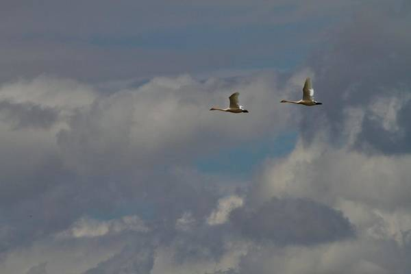 Swan Neck Photograph - Flying Swans Through The Storm by Dan Sproul