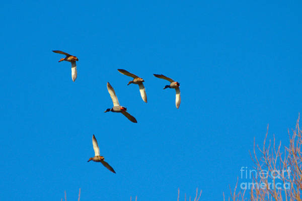 Photograph - Flypast Of Ducks by Jeremy Hayden