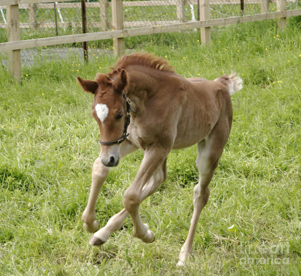 Photograph - Foal Galloping by Brian Bevan
