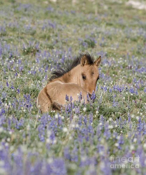 Dun Photograph - Foal In The Lupine by Carol Walker