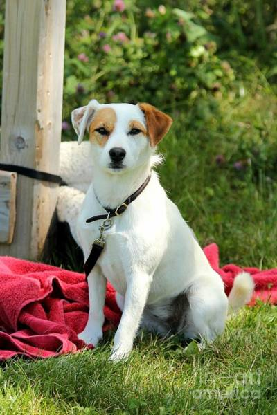 Photograph - Focused Jack Russell by Janice Byer