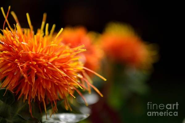 Focused Safflower Art Print