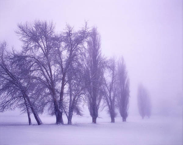Trees In Fog Photograph - Fog Shrouded Poplar And Cottonwood by Panoramic Images