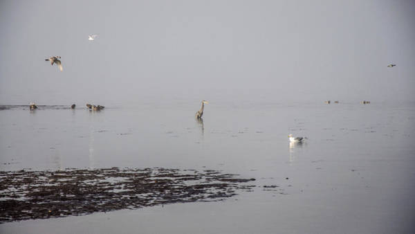Photograph - Foggy Seabird Gathering  by Roxy Hurtubise