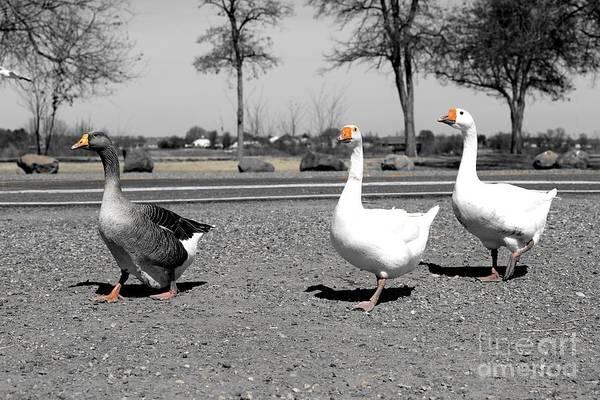 Photograph - Follow That Goose by Carol Groenen