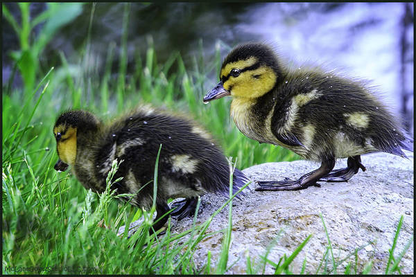 Duck Meat Photograph - Follow The Leader Ducky Style by LeeAnn McLaneGoetz McLaneGoetzStudioLLCcom