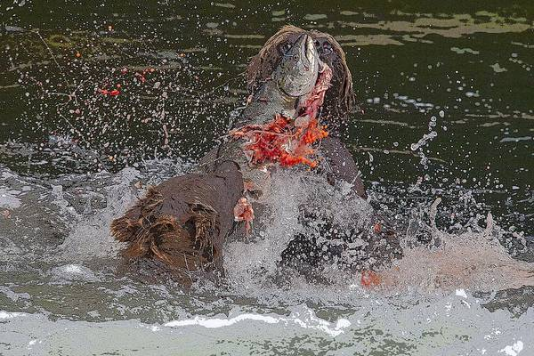 Chinook Salmon Photograph - Food Fight- Abstract by Tim Grams
