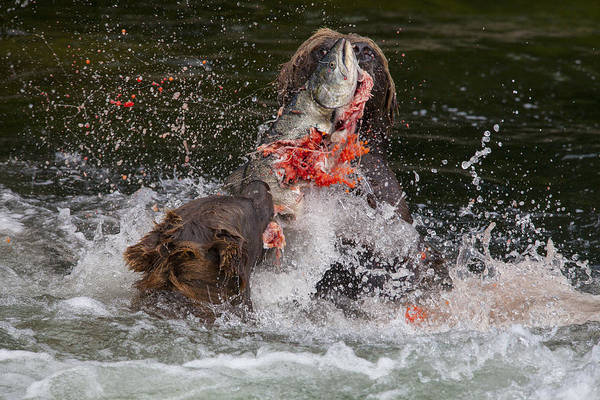 Chinook Salmon Photograph - Food Fight by Tim Grams