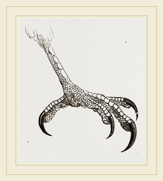 Hook Drawing - Foot Of Hook-billed Cymindis by Litz Collection
