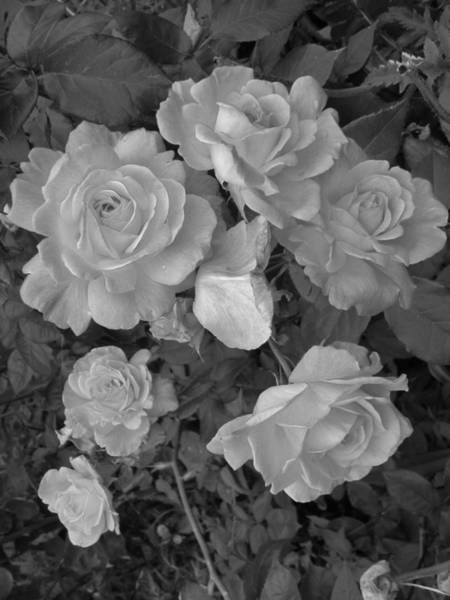 Photograph - For The Love Of The Rose by Charles Lucas