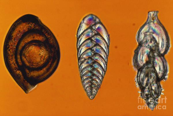 Photograph - Foraminifera Lm by ER Degginger