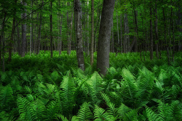 Photograph - Forest And Ferns by Darylann Leonard Photography