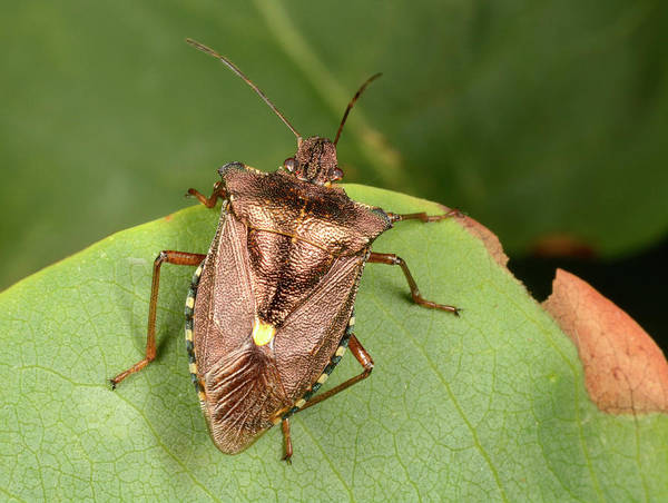Entomology Photograph - Forest Bug by Nigel Downer
