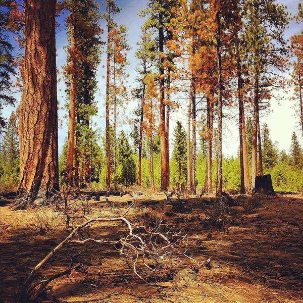 Pine Tree Photograph - Forest Burn Area by Andipantz