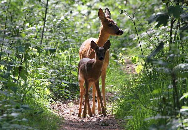 Fawn Photograph - Forest Fawn by Ger Bosma