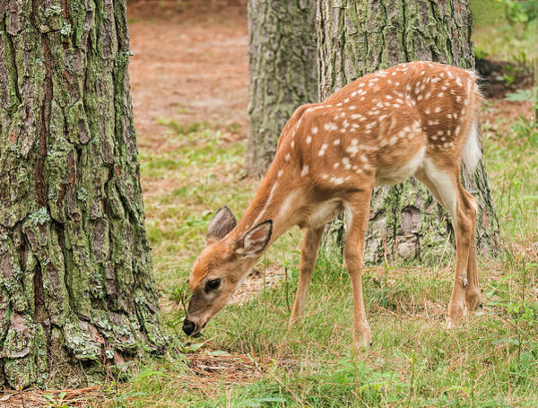 Photograph - Forest Fawn by Lara Ellis