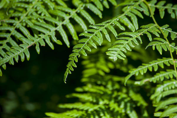 Photograph - Forest Fern by Fran Riley