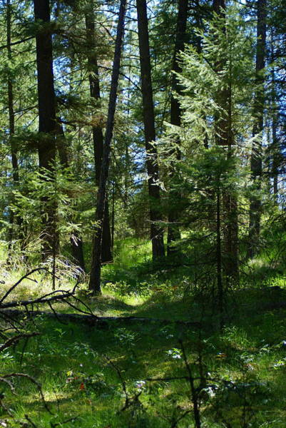 Photograph - Forest Filtered Light In Spokane by Ben Upham III