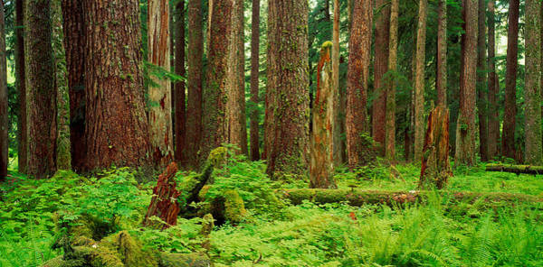 Mossy Photograph - Forest Floor Olympic National Park Wa by Panoramic Images