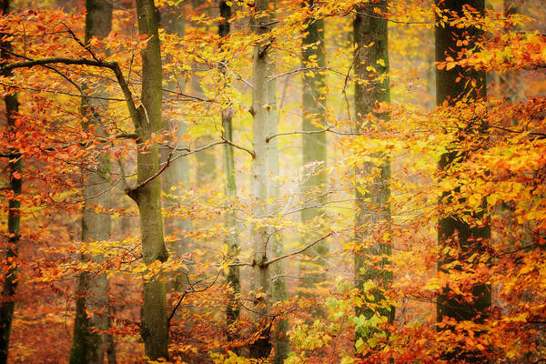 Hardwood Photograph - Forest In Autumn by Philippe Sainte-laudy Photography