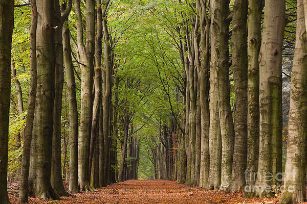 Photograph - Forest In The Fall by David Lichtneker