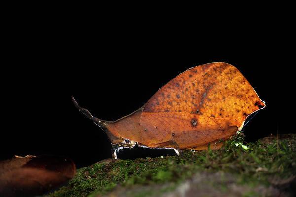 Entomology Photograph - Forest Leaf Grasshopper by Melvyn Yeo