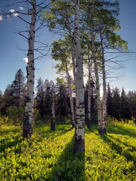 Photograph - Forest Light Aspens by Leland D Howard