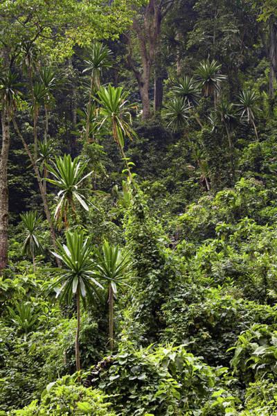 Equatorial Africa Wall Art - Photograph - Forest Lobelia (lobelia Gibberoa by Martin Zwick