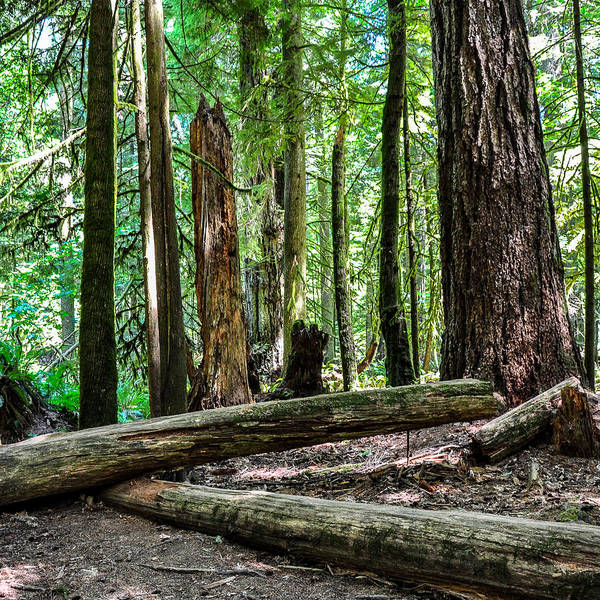 Photograph - Forest Of Cathedral Grove Collection 2 by Roxy Hurtubise