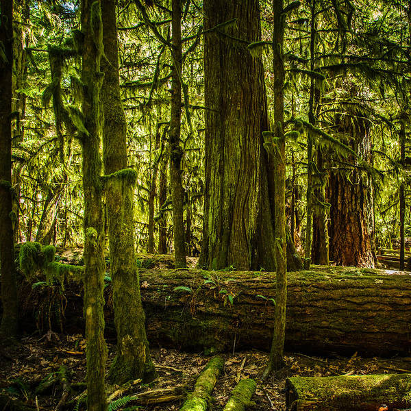Photograph - Forest Of Cathedral Grove Collection 3 by Roxy Hurtubise