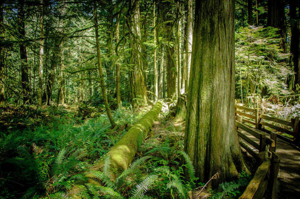 Photograph - Forest Of Cathedral Grove Collection 4 by Roxy Hurtubise
